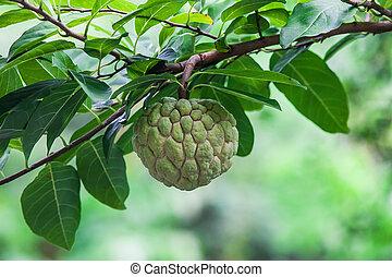 Sugar apple ( Annona squamosa Linn.) Thailand