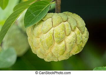 Sugar apple fruit on tree.