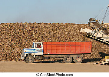 sugar beet harvest - truck waiting in front of a mountain of sugar beet after having offloaded. the remaining dirt is loaded back onto the truck and the driver watches the progress in the rearview mirror while shielding his eyes from morning sun.