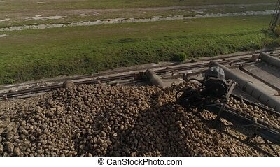 Sugar beet pile of the field after the harvest before processing.