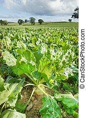 Sugar beet vegetables growing in field for animal feed Shropshire UK