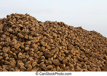 Sugar beets - A big stack of many sugar beets