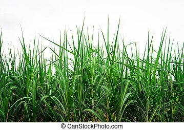 Sugar cane background