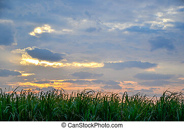 Sugar cane field - Morning at a sugar cane field at the...
