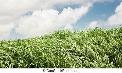 Sugar cane field over sky background