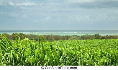 Sugar cane field with seaside on background