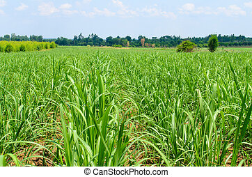 Sugar cane field with blue sky and white cloud in Thailand