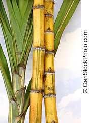 Sugar Cane - Fresh sugar cane stalks and plant leaves