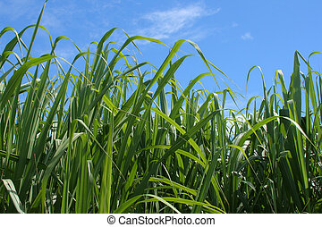 Sugar Cane - Green sugar cane leaves