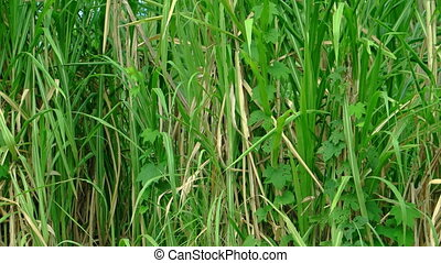 Sugar Cane Growing on a Farm in Southeast Asia - Stalks and...