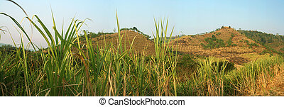 Sugar cane panorama