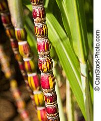 Sugar Cane plant growing in plantation in Kauai