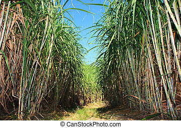 Sugar cane plantation - Path between sugar cane field