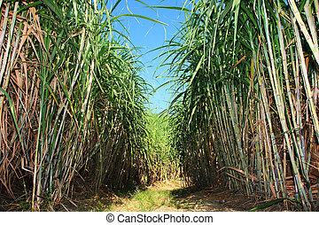 Sugar cane plantation - Path between sugar cane field