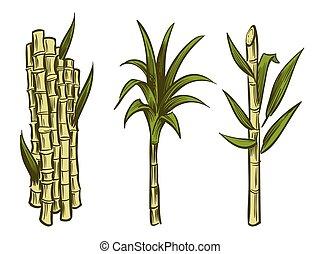Sugar cane plants isolated on white background