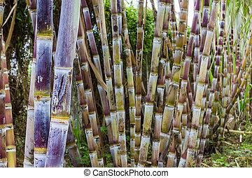 Sugar cane plants nature background. - Close up sugar cane...