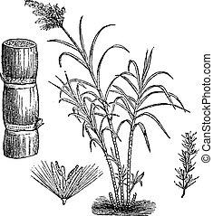 Sugar Cane, vintage engraving. - Sugar Cane, vintage...