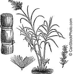 Sugar Cane, vintage engraving. - Sugar Cane, vintage ...