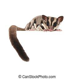 Sugar Glider. Australian pet isolated over white