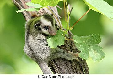 sugar-glider climb on the tree