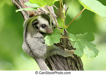 sugar-glider, klättra, på, den, träd