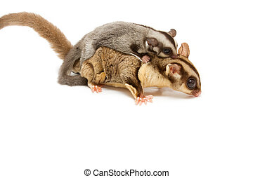 sugar-glider mom and little joey cling back on white background