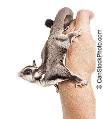 Sugar Glider on Hand of a Man - Cute little pet sugar glider...