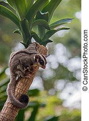Sugar glider. - Sugar glider perched on a tree.