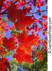 Sugar Maple Leaves in Autumn