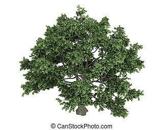 Sugar maple or Acer saccharum - Sugar maple or latin Acer...