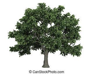 Sugar maple or latin Acer saccharum isolated on white background