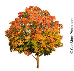 Sugar maple tree in the fall isolated on white, clipping...