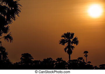 Sugar palm tree at sunset.