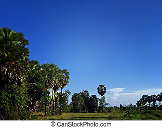 sugar palm tree in the field