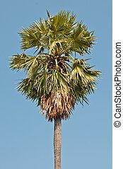 Sugar Palm with blue sky