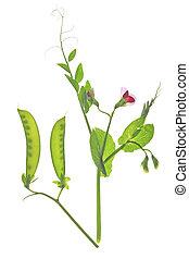 sugar pea (Pisum sativum) - flowering sweet pea or suger pea...