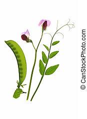 sugar pea - flowering suger pea (Pisum sativum) with pod and...