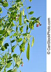 sugar pea vegetable garden