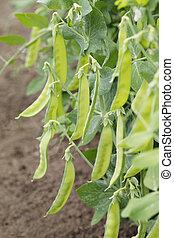 Sugar peas growing in a garden.