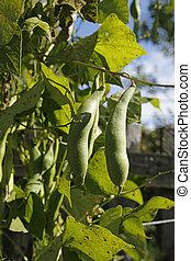 Sugar Snap Pea plant in the garden