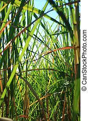 Sugarcane background