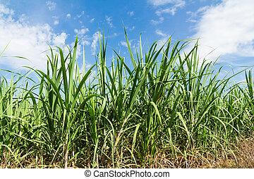 sugarcane, céu azul, fundo