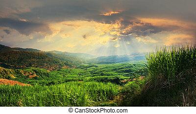 sugarcane, campo, paisagem