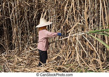 sugarcane, campo, trabalhador