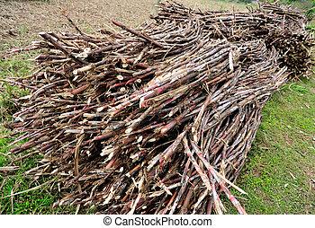 sugarcane, colheita