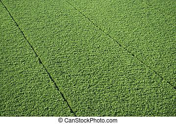 Sugarcane crop.