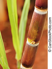 Sugarcane or sugar cane, widely grown in india, showing juicy ripe stem rich in sucrose and ready for industrial extraction of sugar, jaggery, molasses and bio-fuel called ethanol