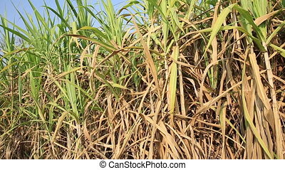 sugarcane crops at farm