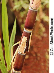 Sugarcane crop(stem) fully ripe ready for industrial ...