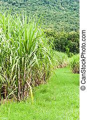 Sugarcane Farm Landscape